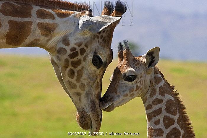 Rothschild Giraffe (Giraffa camelopardalis rothschildi) nuzzling calf, native to Africa  -  ZSSD