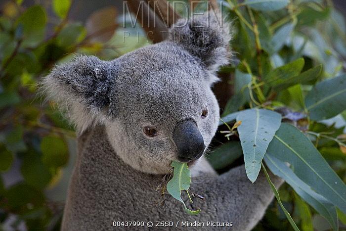 Queensland Koala (Phascolarctos cinereus adustus) eating eucalyptus leaves, native to Australia  -  ZSSD
