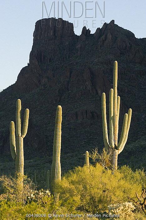 Saguaro (Carnegiea gigantea) cacti, Alamo Canyon, Organ Pipe Cactus National Monument, Arizona  -  Kevin Schafer
