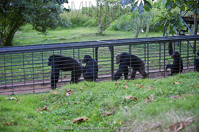 Chimpanzee (Pan troglodytes) group, rescued individuals moving through entrance to sleeping area, Ngamba Island Chimpanzee Sanctuary, Uganda  -  Suzi Eszterhas