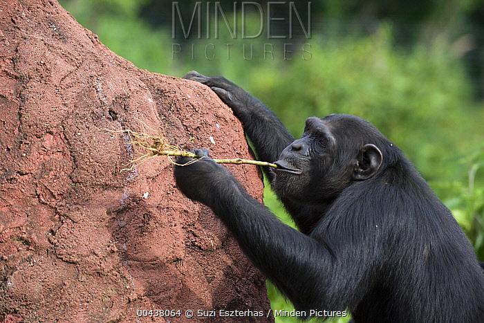 Chimpanzee (Pan troglodytes) learning how to use twigs as tools to extract honey out of holes in termite mound, Ngamba Island Chimpanzee Sanctuary, Uganda  -  Suzi Eszterhas