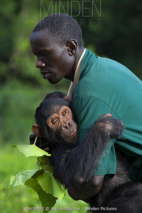 Chimpanzee (Pan troglodytes) rescued infant named Leo being carried by caretaker Rodney Lemata, Ngamba Island Chimpanzee Sanctuary, Uganda  -  Suzi Eszterhas