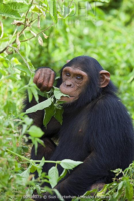 Chimpanzee (Pan troglodytes) rescued infant named Afrika eating foliage, Ngamba Island Chimpanzee Sanctuary, Uganda  -  Suzi Eszterhas