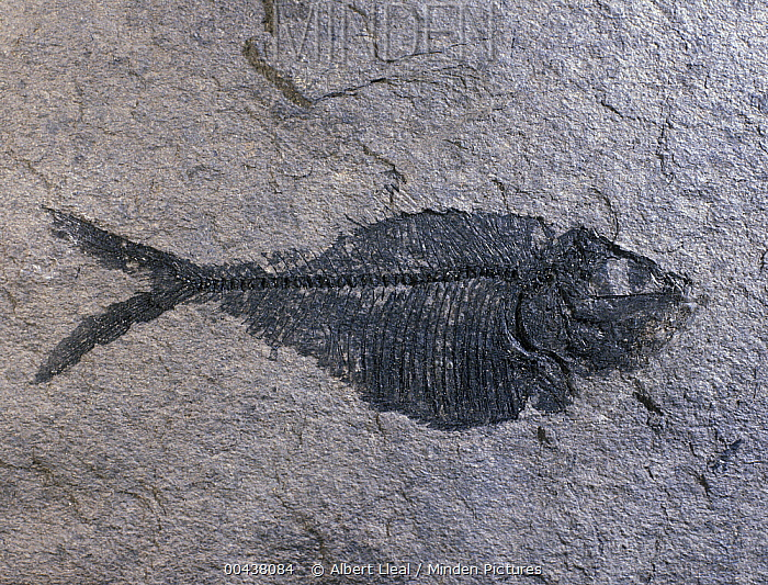 Fish fossil from the Cretaceous period, Papua New Guinea  -  Albert Lleal