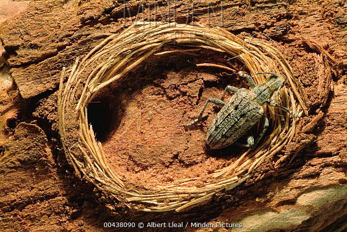 Horn Minden minden pictures stock photos horn beetle rhagium sp with
