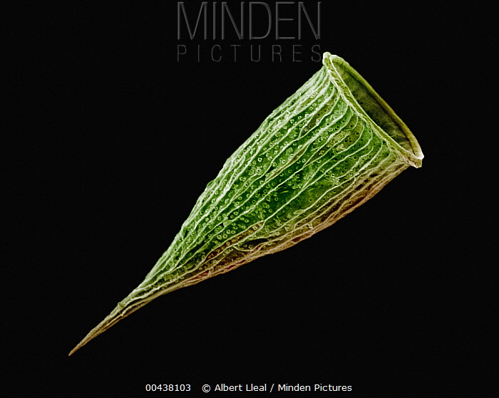 Tintinnid from the mediterranean coast, Spain  -  Albert Lleal