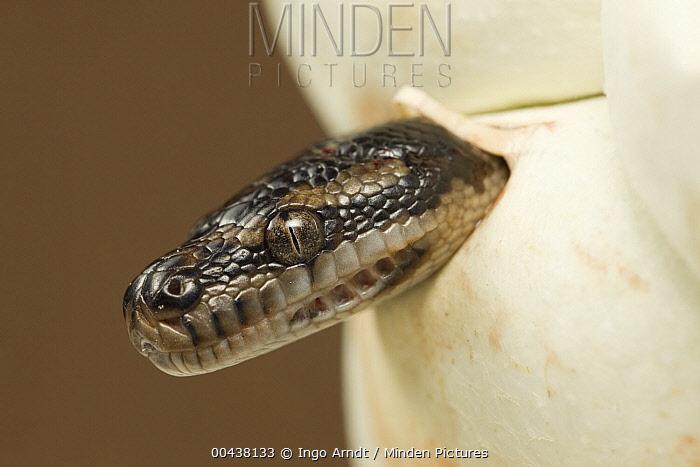 Carpet Python (Morelia spilota) hatching from egg, Australia  -  Ingo Arndt