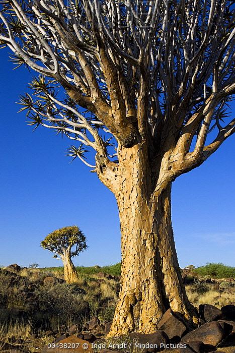 Quiver Tree (Aloe dichotoma) pair, Namib Desert, Namibia  -  Ingo Arndt