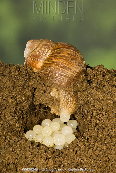 Edible Snail (Helix pomatia) laying eggs, Germany  -  Ingo Arndt
