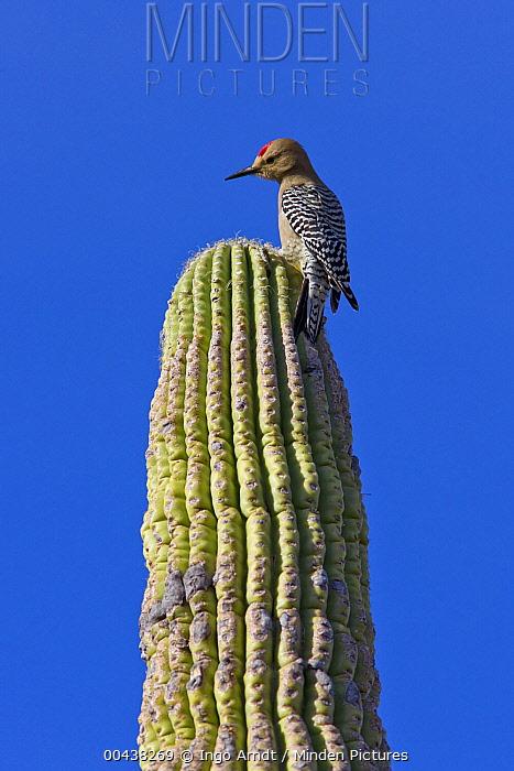 Gila Woodpecker (Melanerpes uropygialis) male sitting on Saguaro (Carnegiea gigantea) cactus, Saguaro National Park, Arizona  -  Ingo Arndt