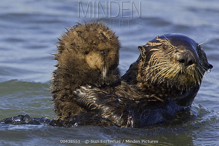 Sea Otter (Enhydra lutris) mother holding one week old pup, Monterey Bay, California  -  Suzi Eszterhas