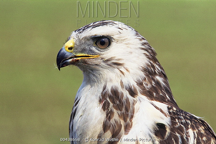 Common Buzzard (Buteo buteo) pale morph, Germany  -  Konrad Wothe