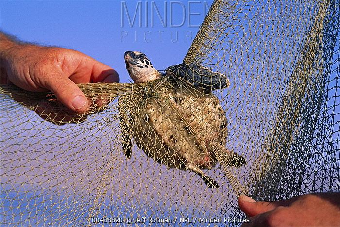 Hawksbill Sea Turtle (Eretmochelys imbricata) baby caught in fishing net, Red Sea  -  Jeff Rotman/ npl