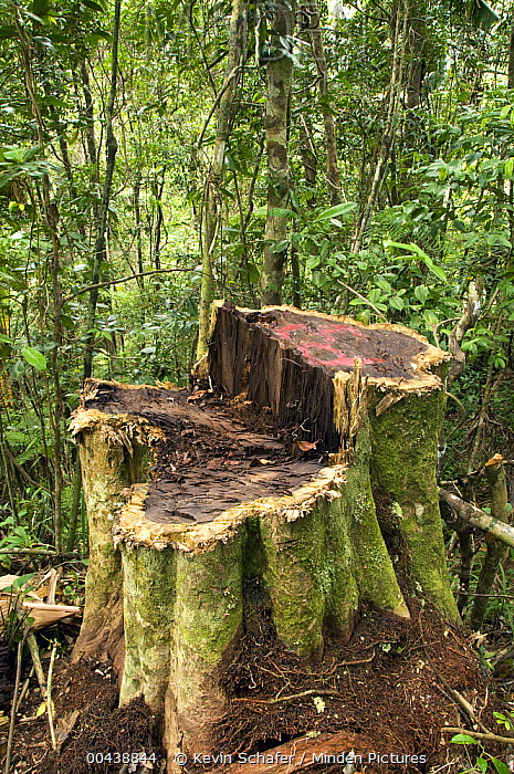Stump from illegal cutting of trees inside Marojejy National Park, Madagascar  -  Kevin Schafer