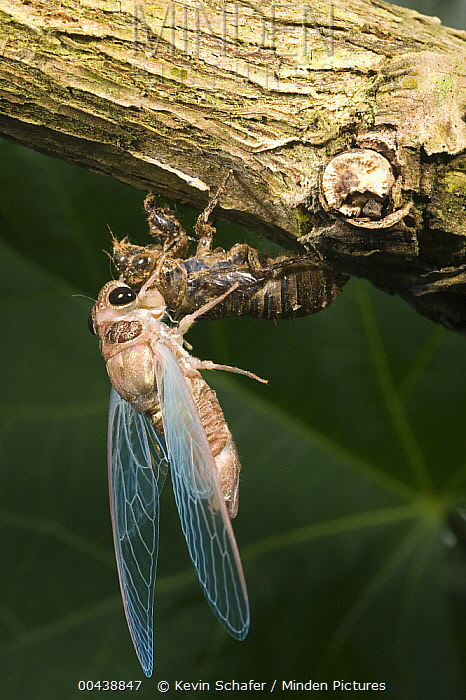 Cicada (Fidicina chlorogena) shedding skin, Marojejy National Park, Madagascar  -  Kevin Schafer