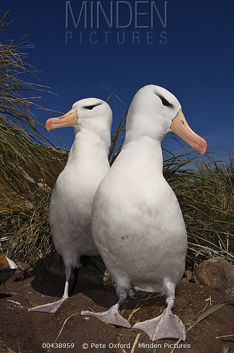 Black-browed Albatross (Thalassarche melanophrys) pair, Keppel Island, Falkland Islands  -  Pete Oxford