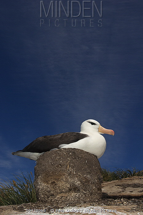 Black-browed Albatross (Thalassarche melanophrys) on pedestal nest, Keppel Island, Falkland Islands  -  Pete Oxford