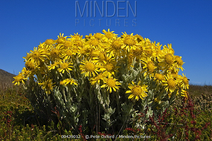Woolly Ragwort (Senecio littoralis) flowers, Keppel Island, Falkland Islands  -  Pete Oxford