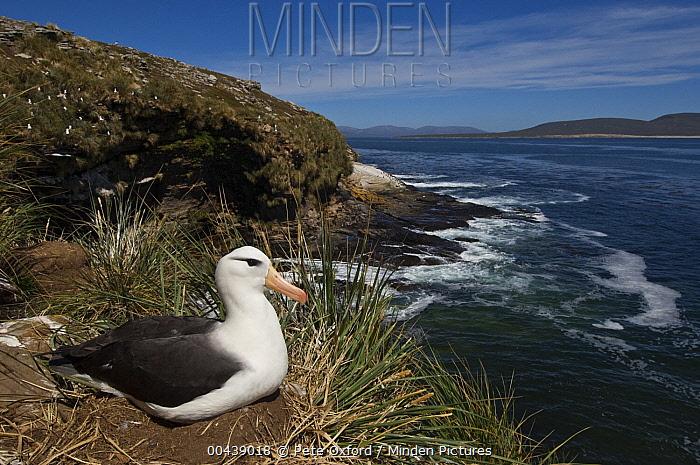 Black-browed Albatross (Thalassarche melanophrys) on nest, Keppel Island, Falkland Islands  -  Pete Oxford