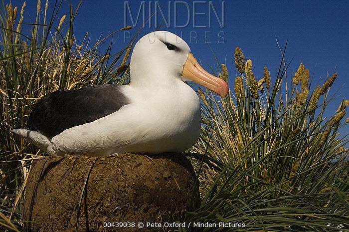 Black-browed Albatross (Thalassarche melanophrys) on pedestal nest, Steeple Jason Island, Falkland Islands  -  Pete Oxford