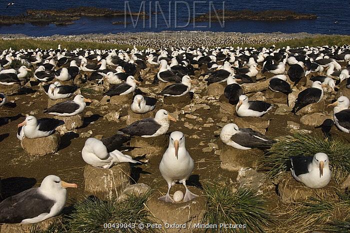 Black-browed Albatross (Thalassarche melanophrys) nesting colony, Steeple Jason Island, Falkland Islands  -  Pete Oxford