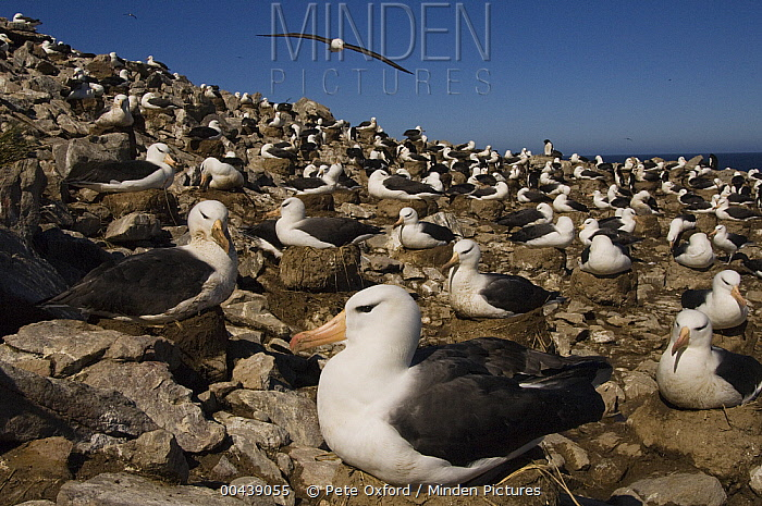 Black-browed Albatross (Thalassarche melanophrys) nesting colony, Steeple Jason Island, Falkland Islands  -  Pete Oxford
