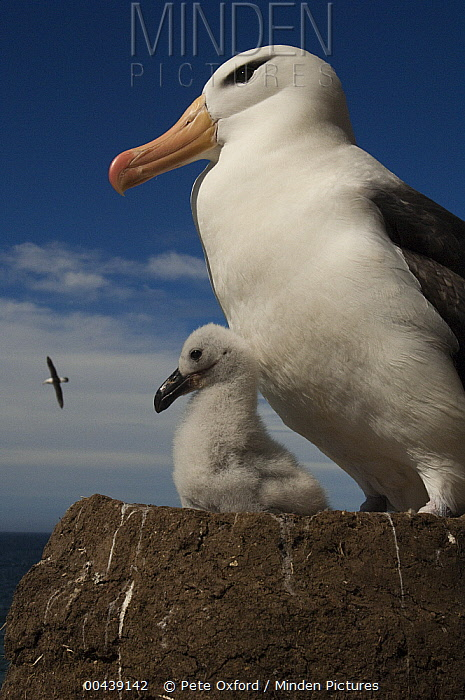 Black-browed Albatross (Thalassarche melanophrys) with chick on pedestal nest, Saunders Island, Falkland Islands  -  Pete Oxford
