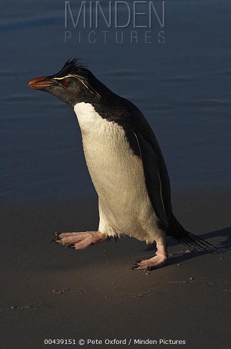 Southern Rockhopper Penguin (Eudyptes chrysocome) on beach, Saunders Island, Falkland Islands  -  Pete Oxford