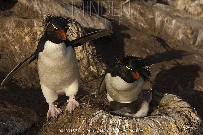 Southern Rockhopper Penguin (Eudyptes chrysocome) pair and chick on nest, Saunders Island, Falkland Islands  -  Pete Oxford