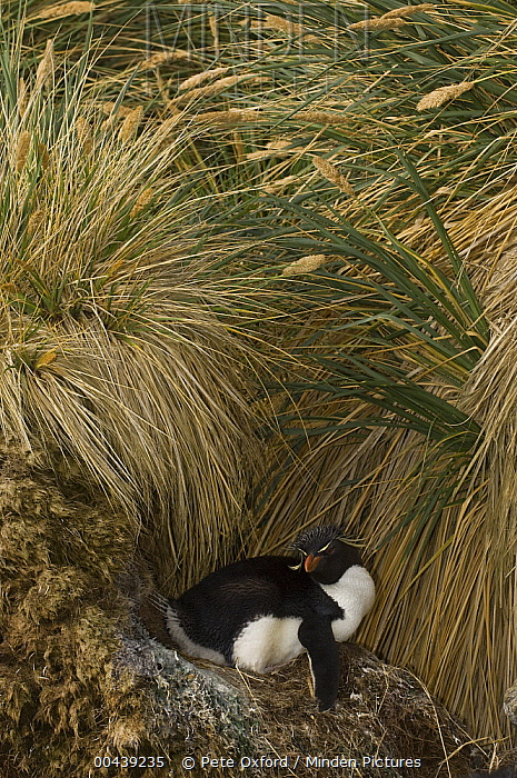 Southern Rockhopper Penguin (Eudyptes chrysocome) on nest in tussock grass, West Point Island, Falkland Islands  -  Pete Oxford