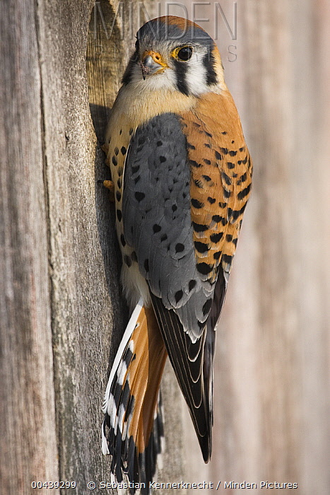 American Kestrel (Falco sparverius) male at nest box, Prairie du Chien, Wisconsin  -  Sebastian Kennerknecht