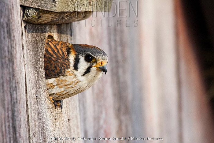 American Kestrel (Falco sparverius) female emerging from nest box, Prairie du Chien, Wisconsin  -  Sebastian Kennerknecht