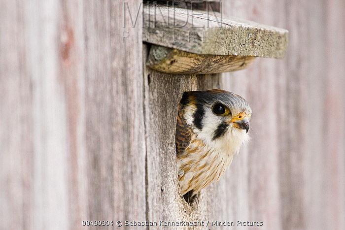 American Kestrel (Falco sparverius) female peeking out of nest box, Prairie du Chien, Wisconsin  -  Sebastian Kennerknecht