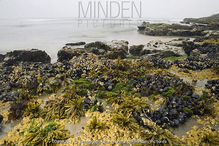 California Mussel (Mytilus californianus) clusters, Barnacles (Balanus sp), Black Turban Snails (Tegula funebralis), Rockweed (Fucus sp), and Sea Lettuce (Ulva sp) in high tide zone, Santa Cruz, Monterey Bay, California  -  Sebastian Kennerknecht