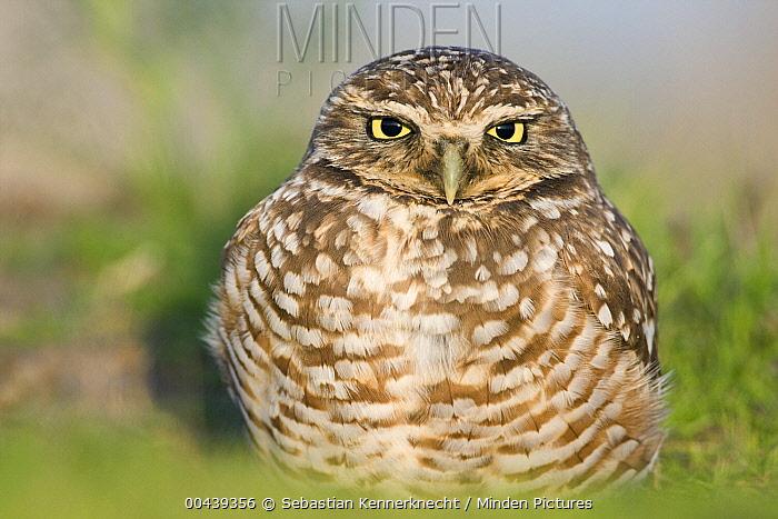 Burrowing Owl (Athene cunicularia) at burrow, Berkeley, San Francisco Bay, California  -  Sebastian Kennerknecht