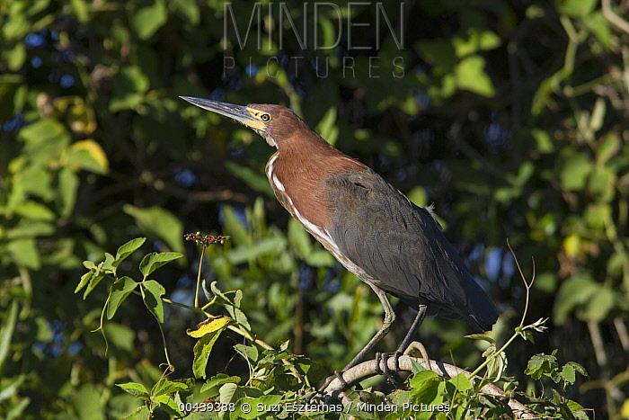 Rufescent Tiger-Heron (Tigrisoma lineatum), Cuiaba River, Pantanal, Brazil  -  Suzi Eszterhas