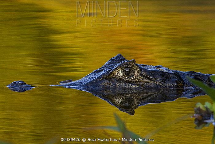 Spectacled Caiman (Caiman crocodilus) floating in water, Pantanal, Brazil  -  Suzi Eszterhas