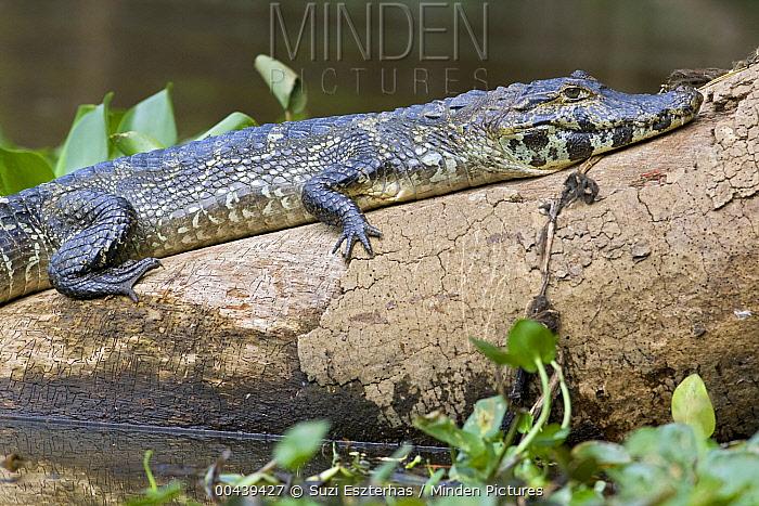 Spectacled Caiman (Caiman crocodilus) on shore, Pantanal, Brazil  -  Suzi Eszterhas