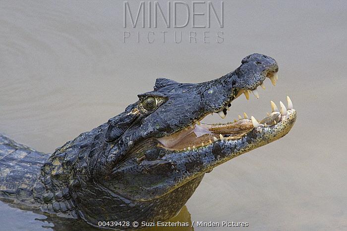 Spectacled Caiman (Caiman crocodilus) eating fish, Pantanal, Brazil  -  Suzi Eszterhas