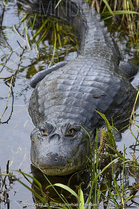 Spectacled Caiman (Caiman crocodilus), Pantanal, Brazil  -  Suzi Eszterhas