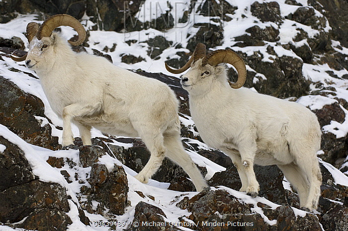 Dall Sheep (Ovis dalli) rams in rocky habitat, Yukon Territory, Canada  -  Michael Quinton