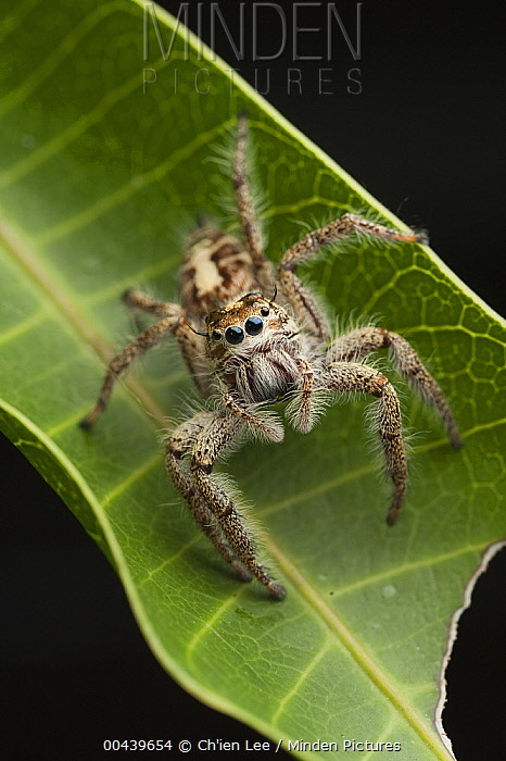 Jumping Spider (Hyllus sp), Indonesia  -  Ch'ien Lee