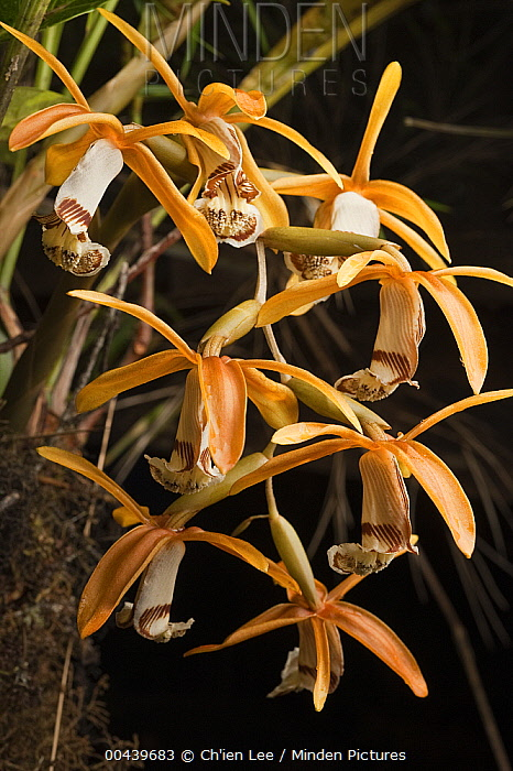 Orchid (Coelogyne radioferens) flowers, Mount Murud, Sarawak, Malaysia  -  Ch'ien Lee