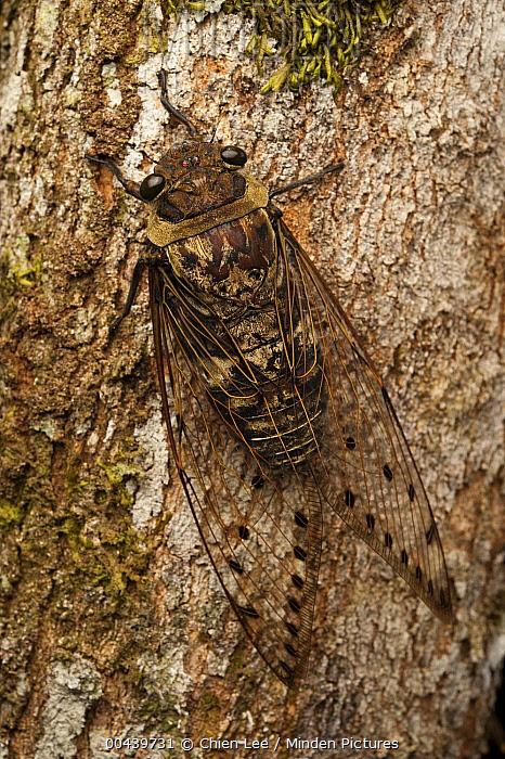 Six O'clock Cicada (Pomponia merula), Borneo, Malaysia  -  Ch'ien Lee