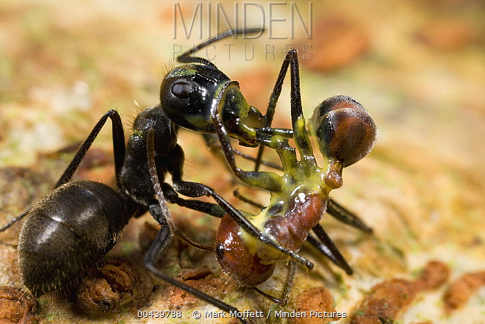 Carpenter Ant (Camponotus cylindricus) has ruptured her body to spew a sticky yellow glue, which has killed both her and the larger worker of another Carpenter Ant (Camponotus sp), Brunei, Borneo, Malaysia  -  Mark Moffett