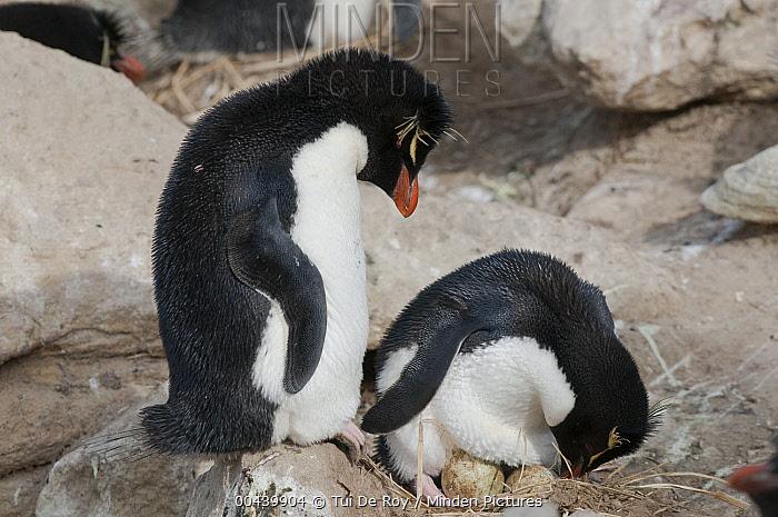 Southern Rockhopper Penguin (Eudyptes chrysocome) incubating eggs, New Island, Falkland Islands  -  Tui De Roy
