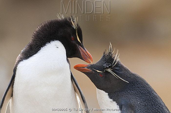 Southern Rockhopper Penguin (Eudyptes chrysocome) pair preening, New Island, Falkland Islands  -  Tui De Roy