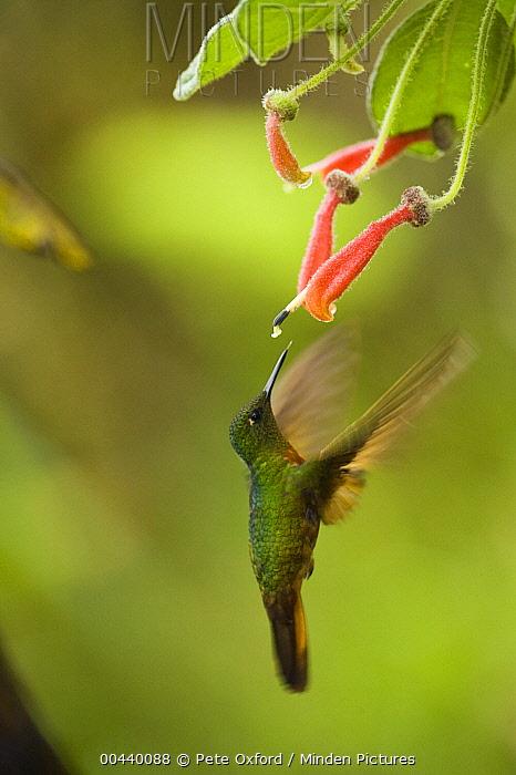 Chestnut-breasted Coronet (Boissonneaua matthewsii) hummingbird foraging in cloud forest, Tapichalaca Reserve, Ecuador  -  Pete Oxford