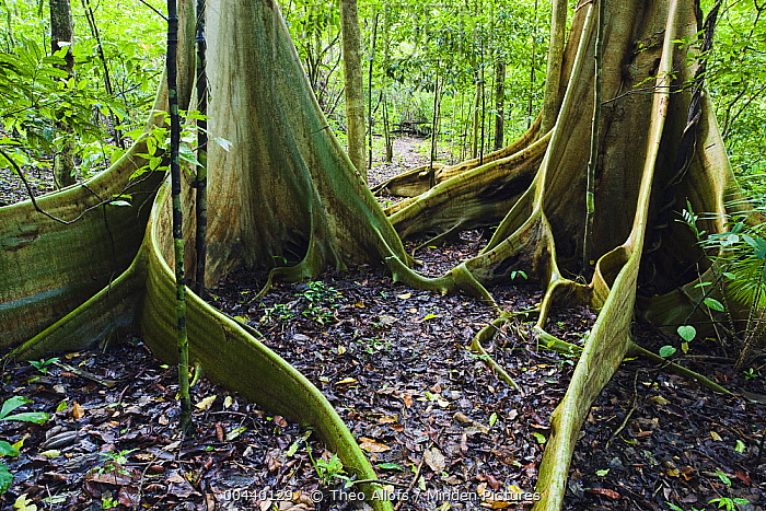 Buttress roots of giant trees in tropical rainforest, Tongkoko Reserve, Sulawesi, Indonesia  -  Theo Allofs