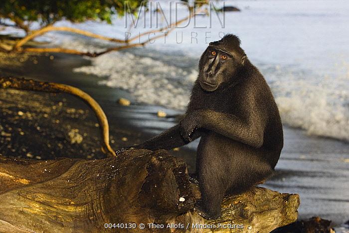 Celebes Black Macaque (Macaca nigra) dominant male sitting on tree stump on beach, Sulawesi, Indonesia  -  Theo Allofs